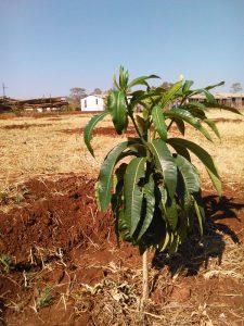 Planted tree, Nkululeko